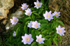 Anemone nemorosa 'Robinsiana'