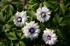 Anemone nem. 'Blue Eyes'