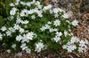 Anemonella thalictroides
