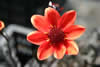 Dahlia 'Pulp Fiction'