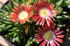 Delosperma dyeri 'Red Mountain'  ?