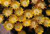 Delosperma 'Yellow'