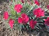 Dianthus grat. 'Annette'