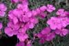 Dianthus 'Babi Lom'