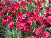 Dianthus grat. 'Lavastrom'
