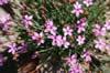 Dianthus 'Pummelchen'