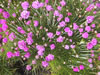Armeria marit. 'Armada Deep Rose'