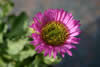 Erigeron glaucus 'Sea Breaze'