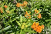 Asclepias tuberosa ''Orange'