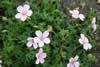 Geranium sanguineum 'Pink'