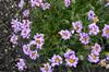 Aster natalensis  (Felicia rosulata)